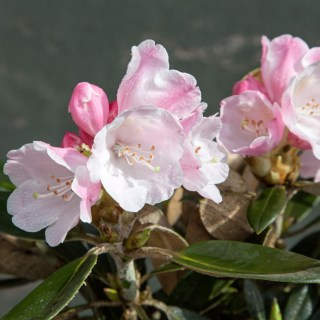 Rhododendron 'Viking Silver'