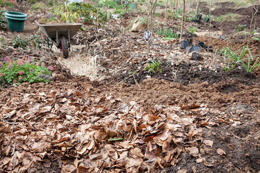 Boklöv i torvparti - rhododendronjord
