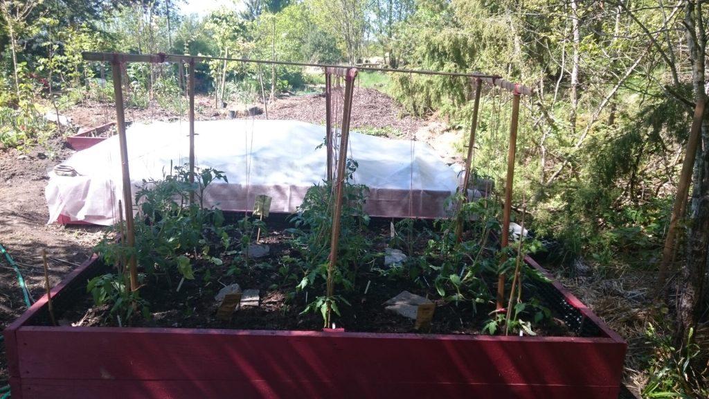 Odlingslådan fylld med tomater och annat