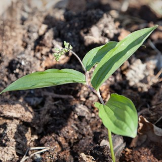 Maianthemum japonicum