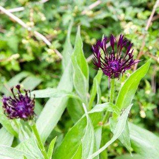 Centaurea montana 'Jordy'