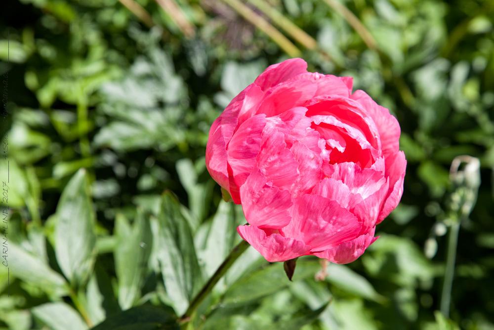 Paeonia hybr. 'Cytherea'