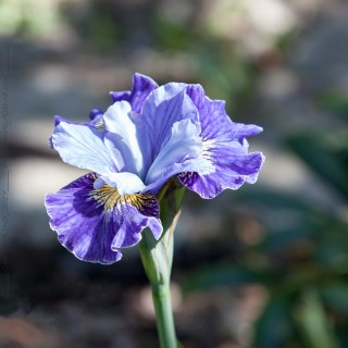 Iris sibirica 'Fresh Notes'