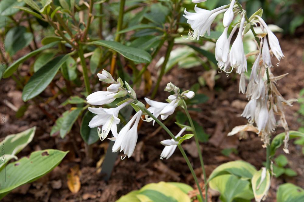 Hosta 'Goodness Gracious' flower