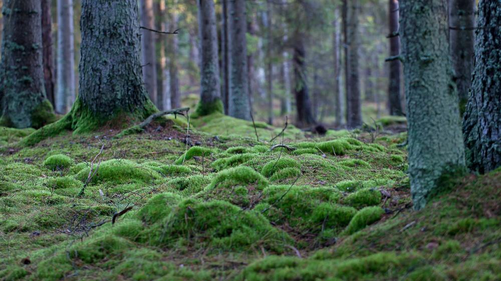 Mossa klär marken, Färdsleskogen