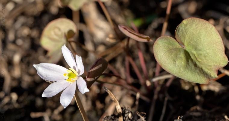 Berberidaceae – berberisfamiljen älskad och hatad