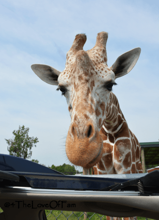 How awesome to feed giraffes. zebras, etc. My kids would love to feed the wildlife at the African Safari Wildlife Park in Port Clinton, Ohio!