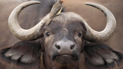 bufalo close up