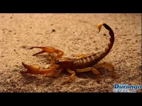 El temible escorpión de Durango (Foto Internet).
