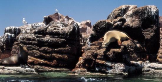 La foca fina de la isla de Guadalupe, otra especie que logra sobrevivir gracias al esfuerzo del equipo conservador del científico ensenadense (Foto: México Desconocido).