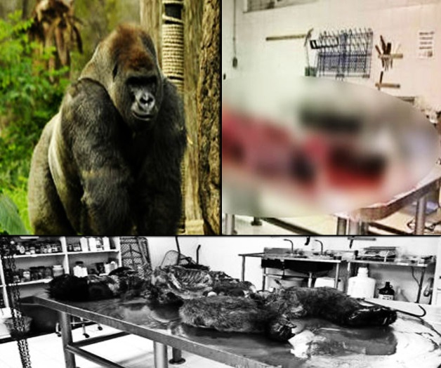Abierto, destazado y decapitado, ese fue el destino del cadáver de Bantú, el gorila del Zoológico de Chapultepec que falleció la semana pasada (Internet).