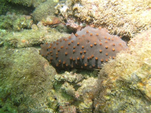 El pepino de mar en su ambiente (Cortesía Cicese).