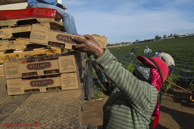 Las mujeres constituyen la mitad de la fuerza de trabajo como jornaleras agrícolas, pero sus condiciones laborales son más deplorables que las que sufren los hombres, ya que ademas de la doble jornada laboral enfrentan acoso y agresiones sexuales (Foto: Regeneración)