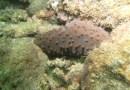 El pepino de mar, agobiado por la pesca ilegal en México