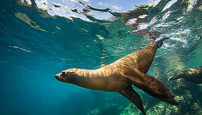 ¿El resultado del aumento de 1 grado en la temperatura del Mar de Cortez? 65% menos lobos marinos
