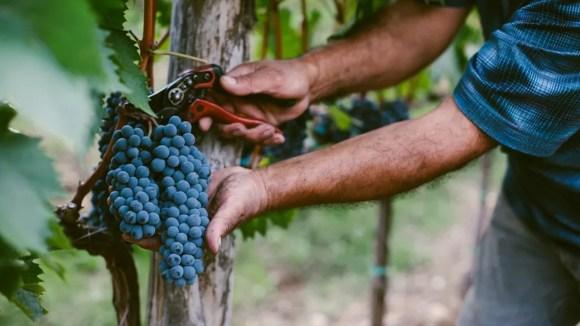 raccolta a mano dell'uva