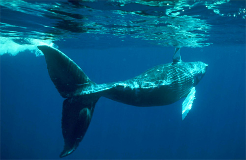 Balaena mysticetus, Balena Groenlandese