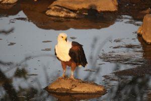 Kruger - Fish Eagle