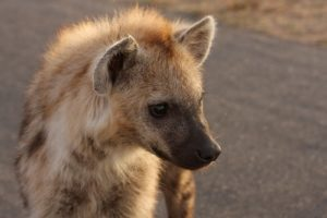 Kruger - Hyena