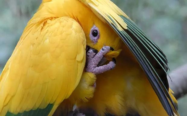 Até a nossa arara verde e amarela demonstra seu estado de espírito