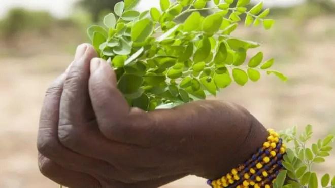 Moringa ou Acácia BrancaA moringa tem propriedades nutritivas, mas médicos advertem que não deve ser usada indiscriminadamente