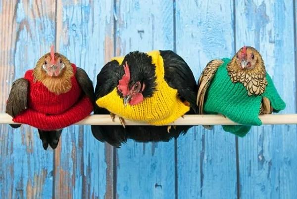 Depois que começaram a usar as blusinhas de lã, as galinhas estão botando mais