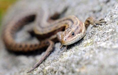 Common Lizard © Amy Lewis