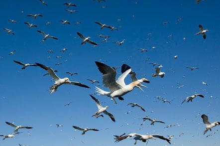 Gannets © Steve Race
