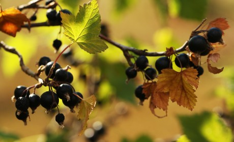 PURPLE UP – FIVE BLACKCURRANT BENEFITS FOR PEOPLE OVER FIFTY