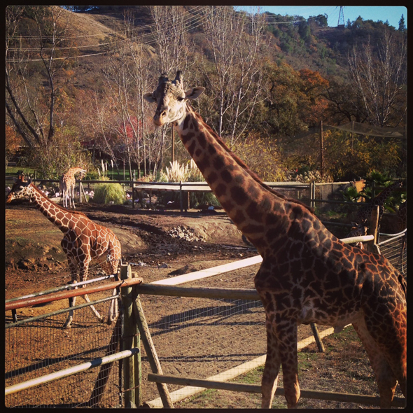 safari-west-giraffes