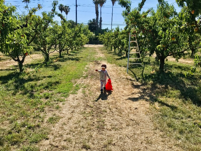 Peach Picking in Brentwood