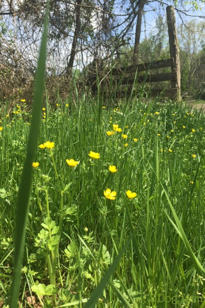 field of buttercups and gate 5 dog farm