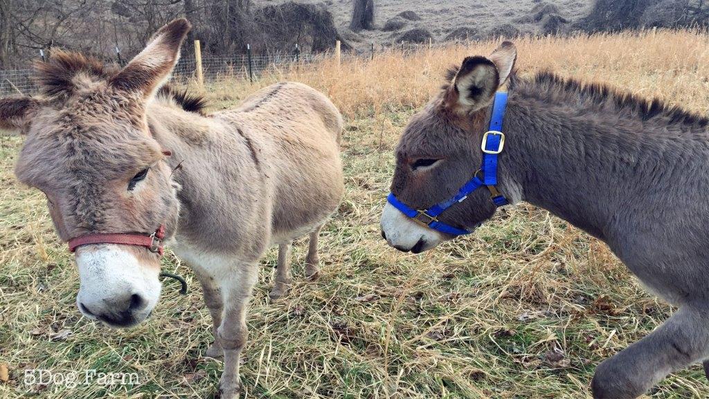 two donkeys 5DogFarm
