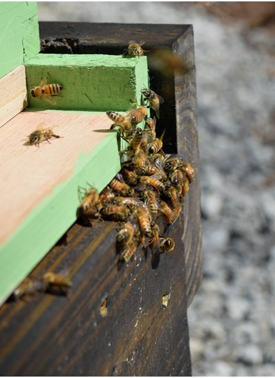 bees going into our hive 5 dog farm
