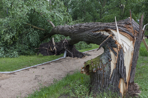 Tree severely damaged by hurricane with snapped trunk