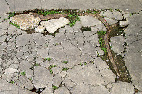 Invasive tree roots buckling and cracking concrete driveway