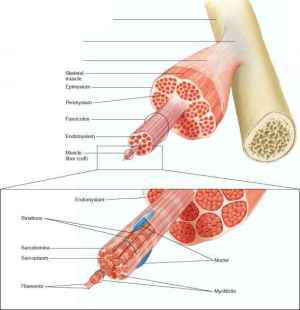 Structure of Skeletal Muscles  Human Physiology
