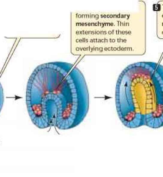 Image of post-gastrulation animal embryos, showing the formation of the blastopore, archenteron, and secondary opening, which together become the mouth, digestive tract, and anus.