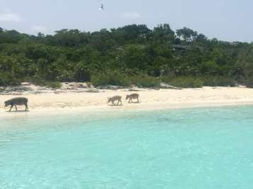 Os porcos são os únicos moradores da ilha, Bahamas.