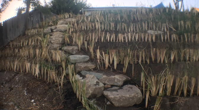 Steep Dry Hillside Transformation With Vetiver Grass and Natural Stone
