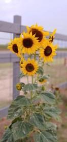 family sunflowers