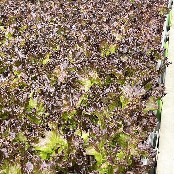 80 Acres Farms Rhine Leafy Greens