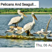 Pelicans And Seagulls Jigsaw