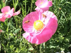 bees-poppies2