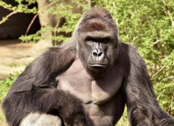Cincinnati Zoo President: Internet Memes About Harambe Are Gold