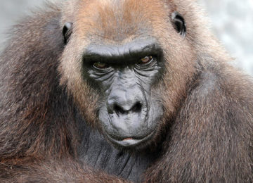 Harambe's Grandmother, Josephine, Has Passed Away At Miami Zoo