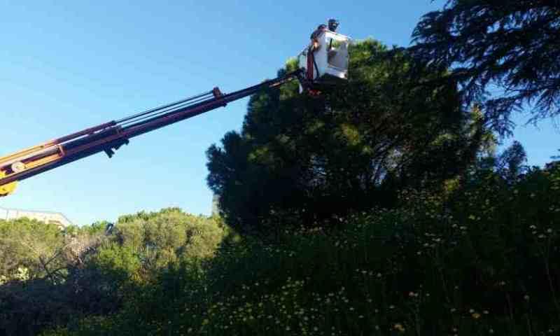 Al lavoro per eliminare i nidi di processionaria dagli alberi di pino