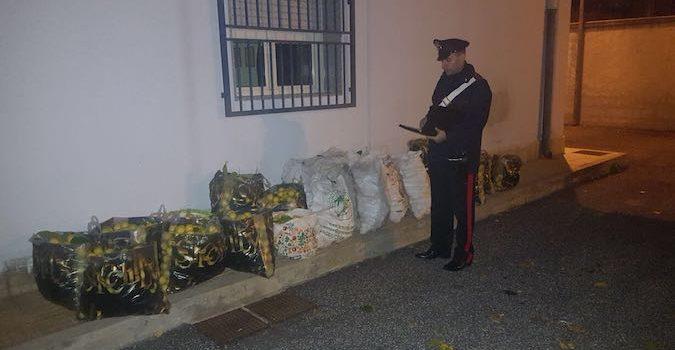 SIRACUSA: Rubano oltre 100 chili di limoni, arrestati 3 Catanesi