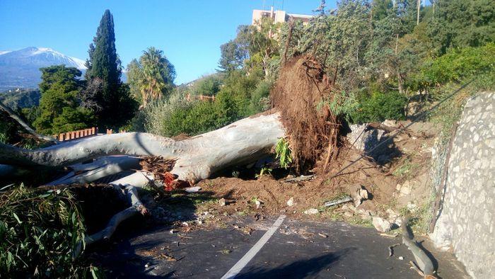 Maltempo, a Taormina crolla un antico eucalipto di 30 metri