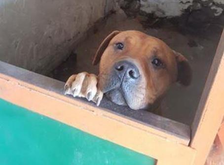CATANIA: Pitbull chiuso in uno sgabuzzino senza né cibo né acqua. Denunciato il proprietario